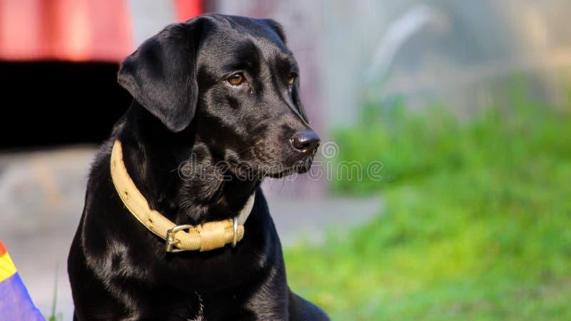 Labrador negro 2 imagenes de archivo