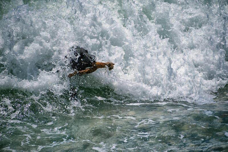 Labrador negro como diversión, recuperando el palillo de ondas mediterráneas imagen de archivo
