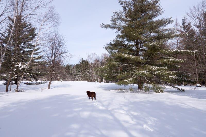 Labrador in neve fotografie stock