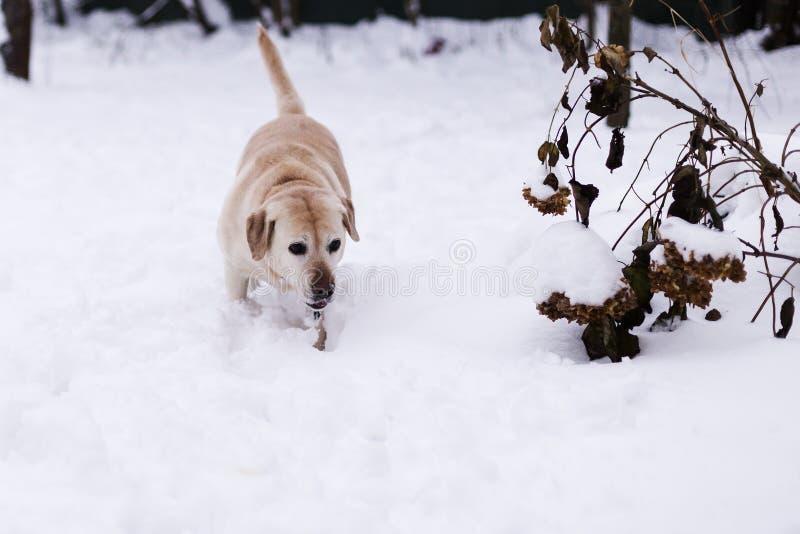 Labrador no parque foto de stock
