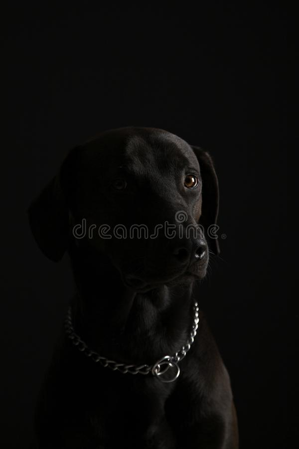 Labrador noir image stock