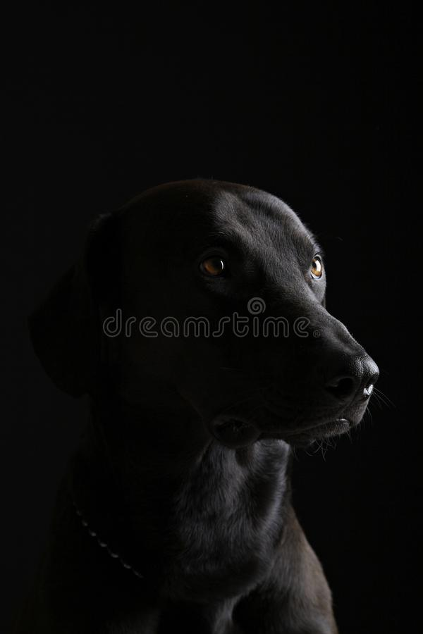 Labrador noir photos stock