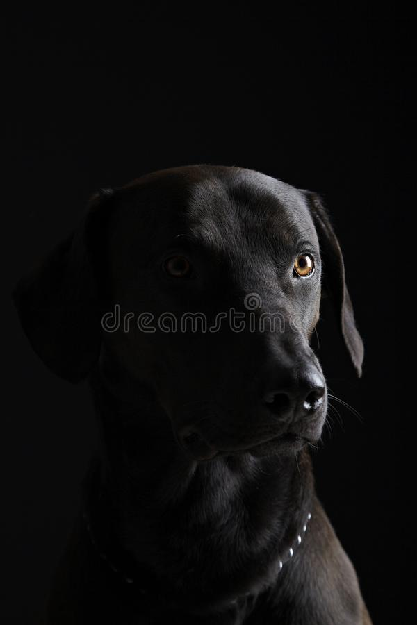 Labrador noir photo stock