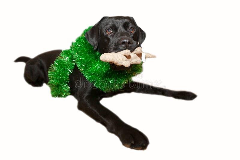 Labrador noir mignon heureux décoré de la pluie de nouvelle année d'isolement sur le fond blanc photographie stock libre de droits