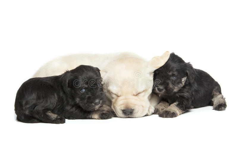 Labrador- och miniatyrSchnauzersvartvalpar fotografering för bildbyråer
