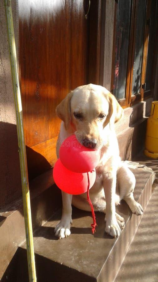 Labrador och röda ballonger arkivbilder