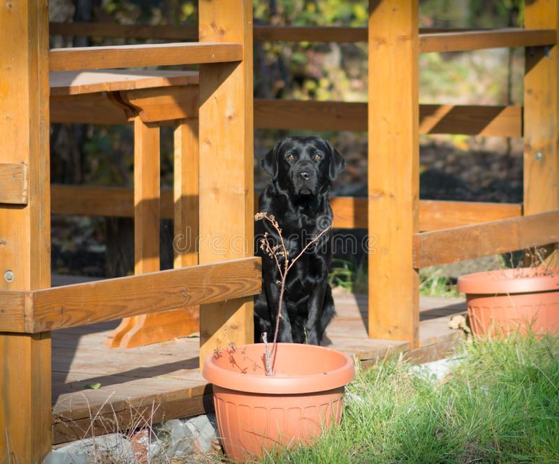 Labrador, our best friend. A sweet labrador who awaits his master in the wooden arbor stock photo