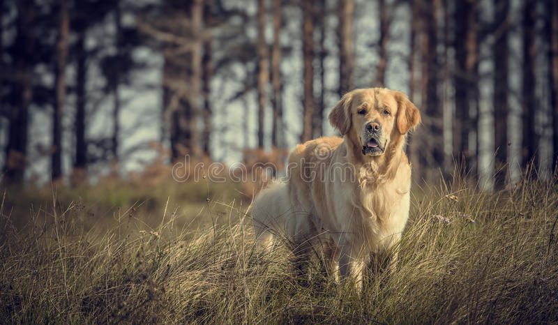 Labrador Outdoors fotografia royalty free