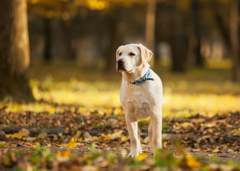 Labrador in park stock afbeeldingen
