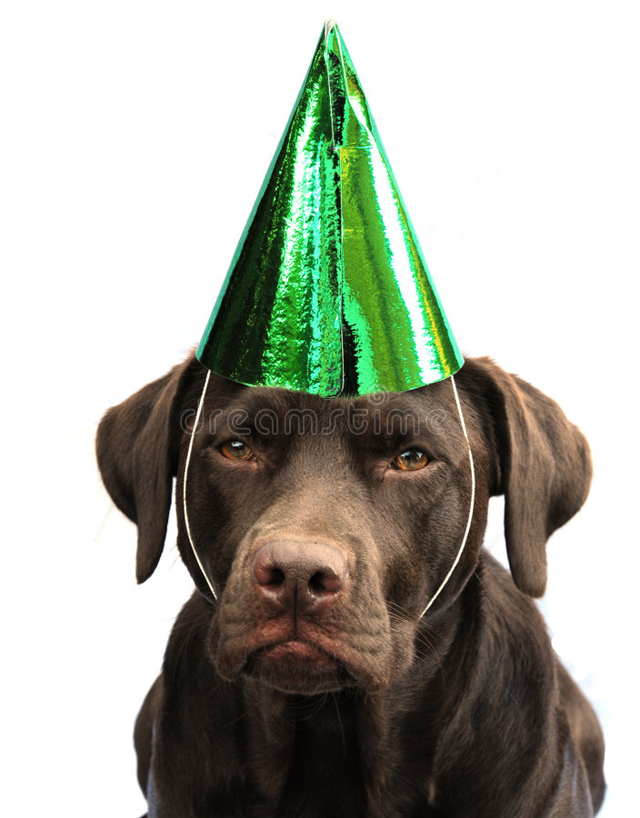 Labrador in party hat stock images
