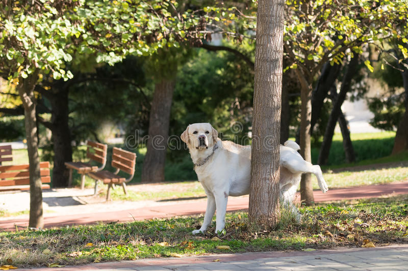 Labrador peeing at a tree in a park. stock image