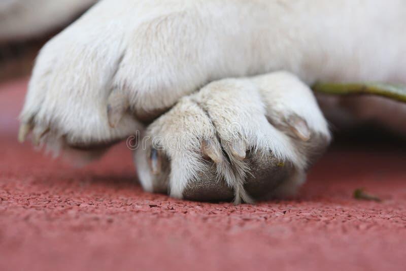 Labrador pequeno Sara Paws em um fundo vermelho imagem de stock royalty free