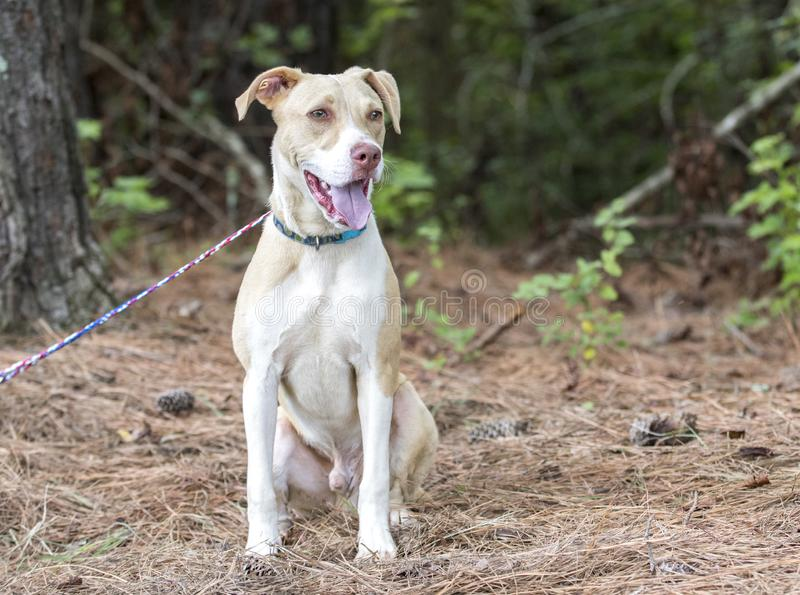 Labrador Pitbull mix breed puppy dog adoption photo. White and tan lab and pit bull mixed breed 6 month old  male pup outside on collar and leash. Humane society stock images