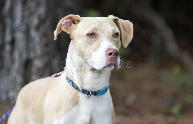 Labrador Pitbull mix breed puppy dog adoption photo. White and tan lab and pit bull mixed breed 6 month old  male pup outside on collar and leash. Humane society royalty free stock photo