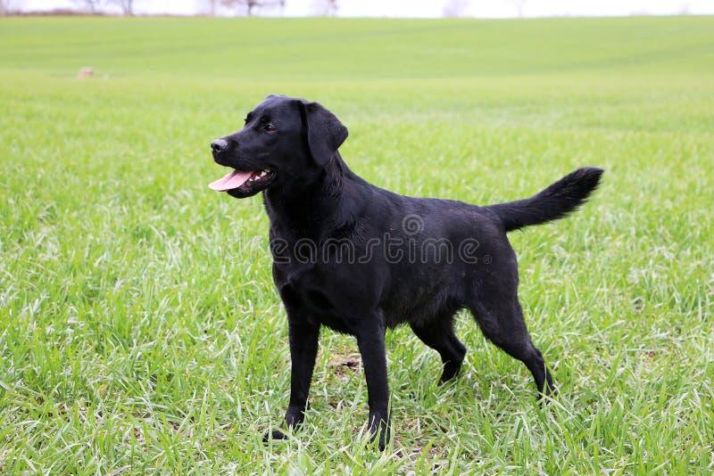 Labrador-Porträt im Garten stockbild