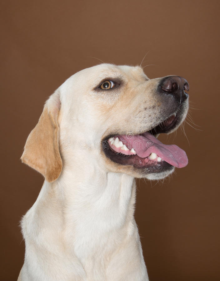 Labrador posing in a studio. Against a cream and brown wall royalty free stock photography