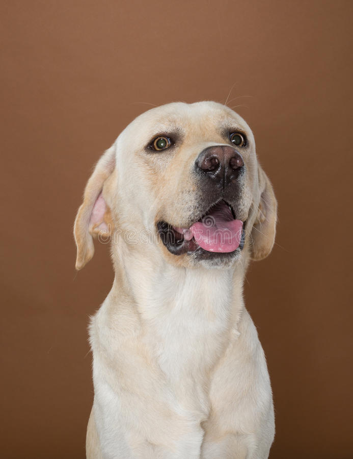Labrador posing in a studio. Against a cream and brown wall royalty free stock image