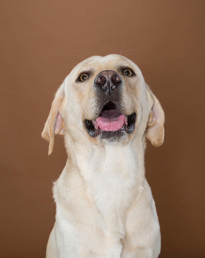 Labrador posing in a studio. Against a cream and brown wall stock photo