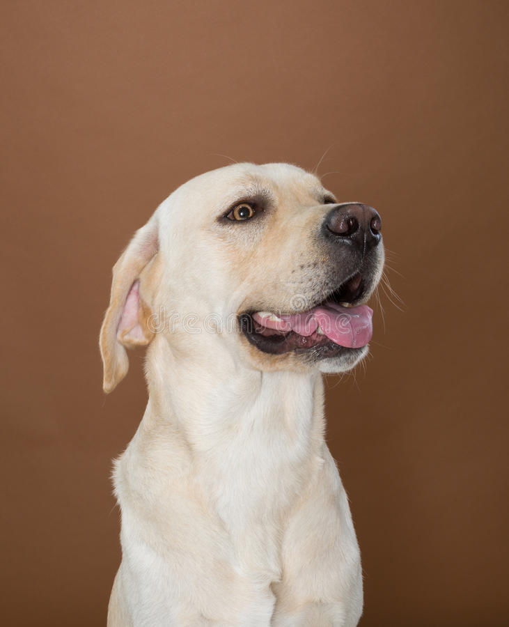 Labrador posing in a studio. Against a cream and brown wall stock photography