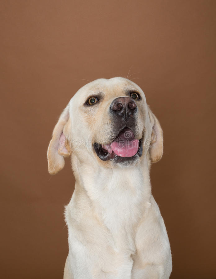Labrador posing in a studio. Against a cream and brown wall stock image