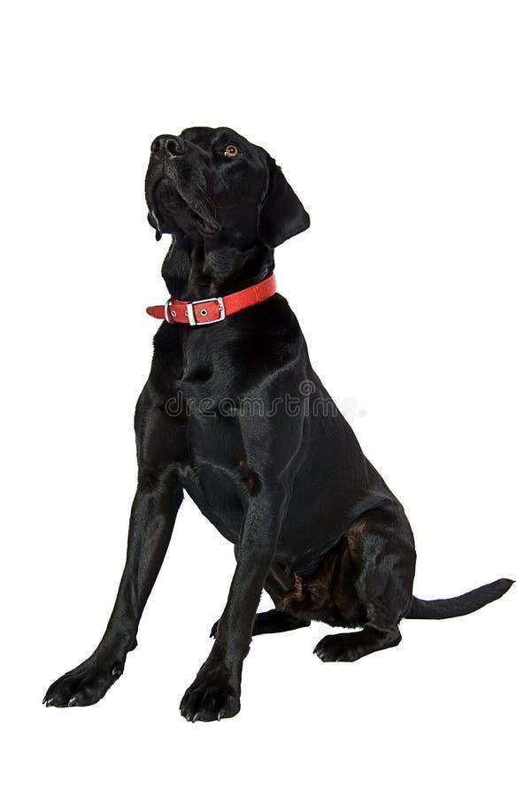 Labrador preto considerável imagem de stock royalty free