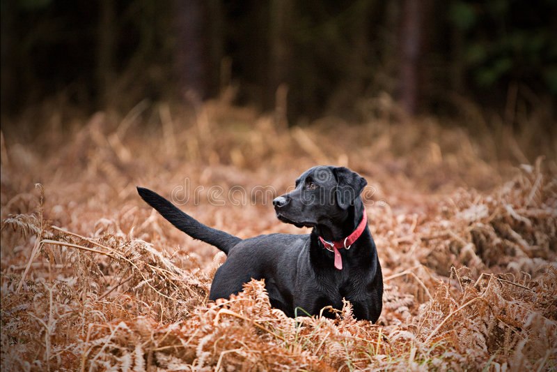 Labrador preto no campo fotos de stock royalty free