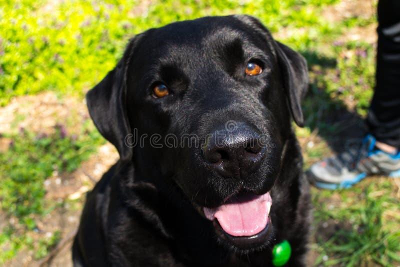 Labrador preto no parque fotos de stock
