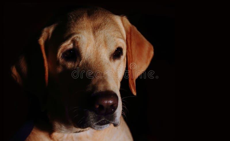 Labrador Protrait z Czarnym tłem fotografia stock