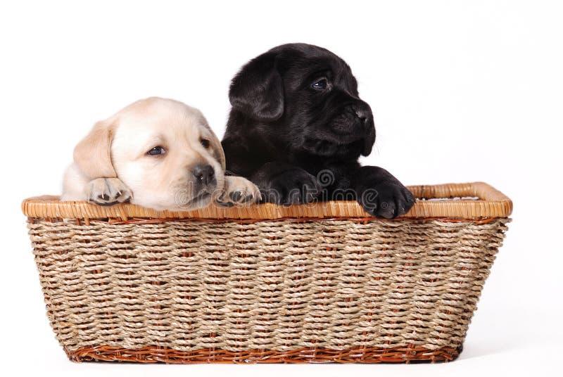 Labrador puppies royalty free stock photos