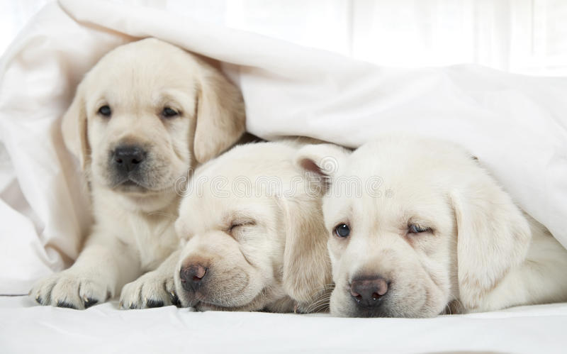 Labrador puppies lying in a bed royalty free stock photography