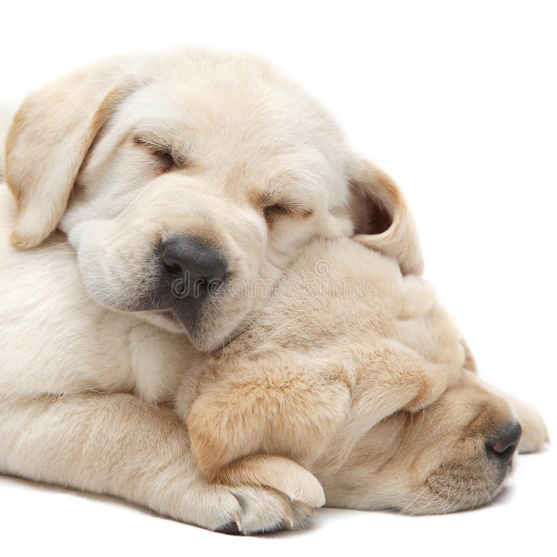 Labrador puppies sleeping. On a white background. Cute sleepy puppy dogs
