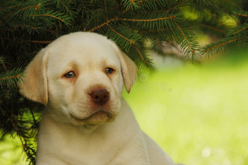 Download Labrador Puppy Stock Images - Image: 1400604