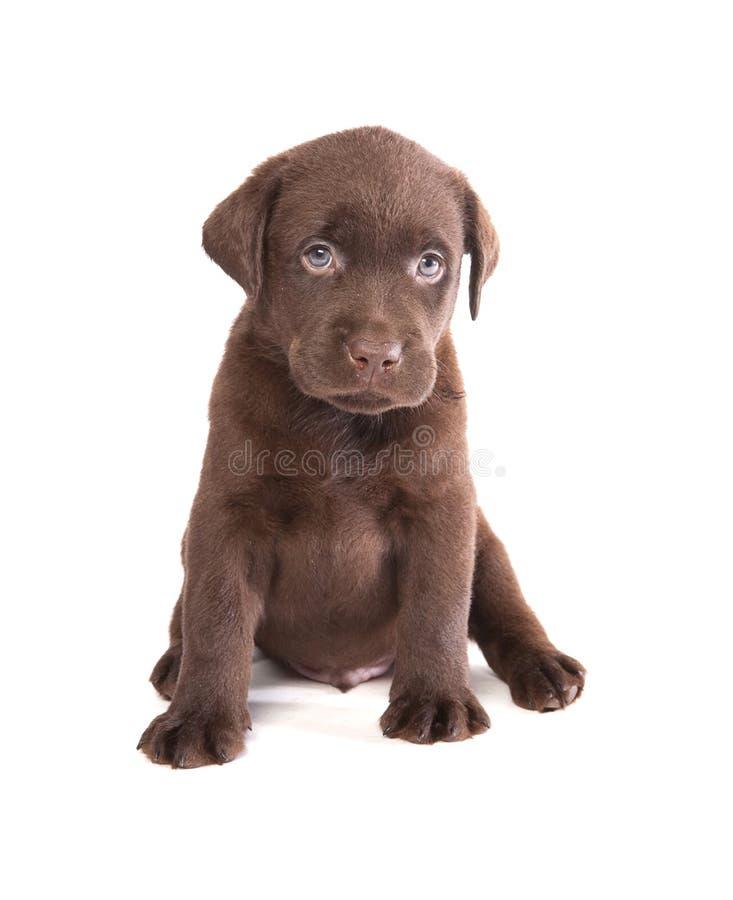 Labrador puppy royalty free stock image