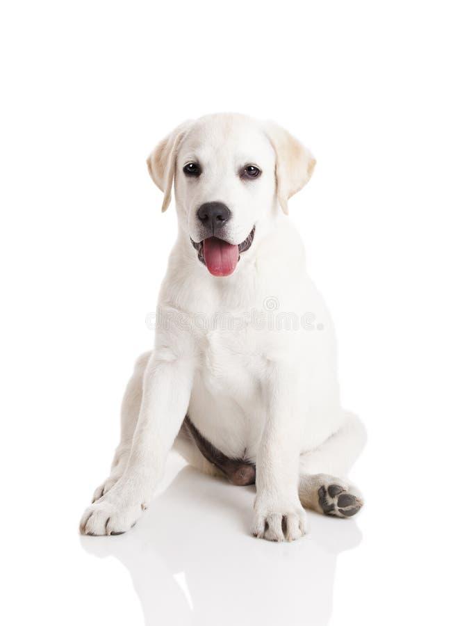 Download Labrador puppy stock image. Image of happy, baby, look - 18082053