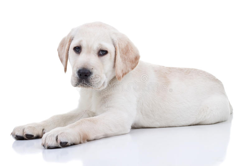 Download Labrador Puppy stock photo. Image of laying, canine, looking - 28723964
