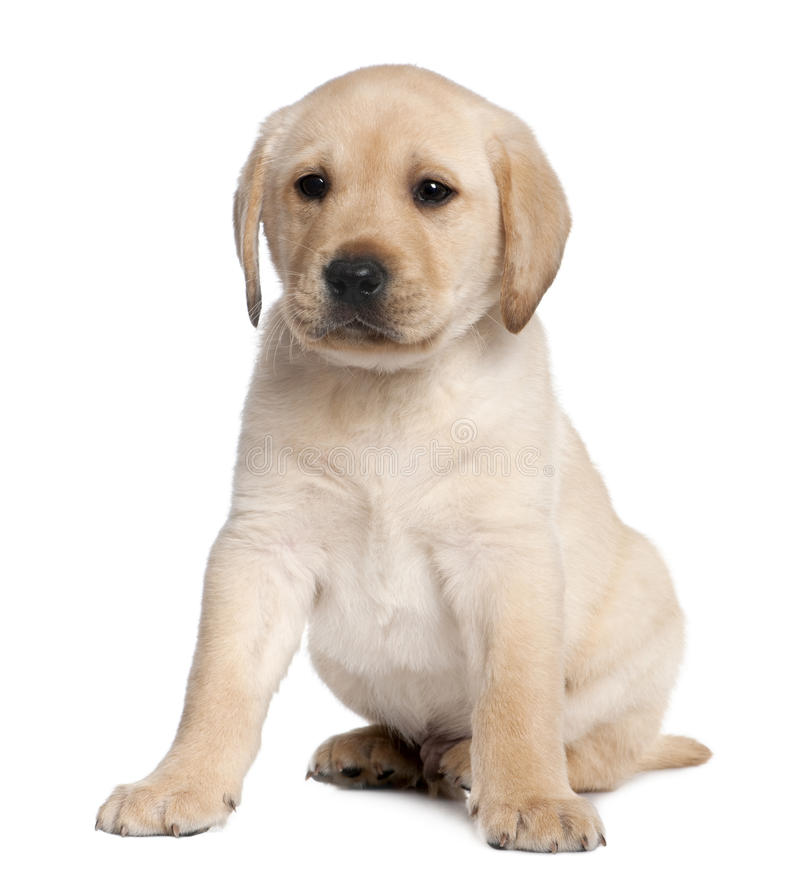 Free Labrador Puppy (6 Weeks Old) Stock Image - 9774221