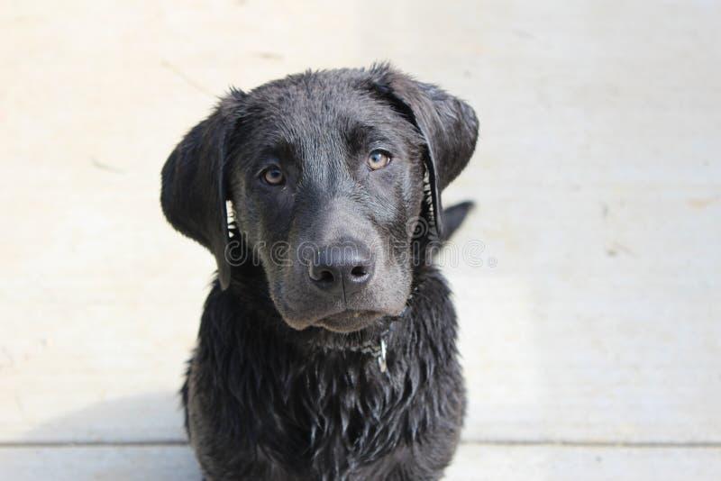 Labrador puppy royalty free stock photography