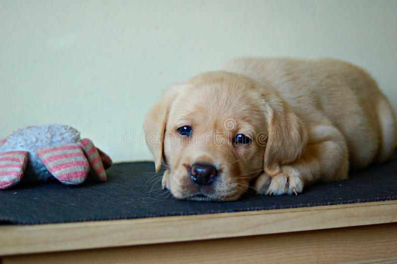 Labrador puppy laying down with squeeze toy stock images