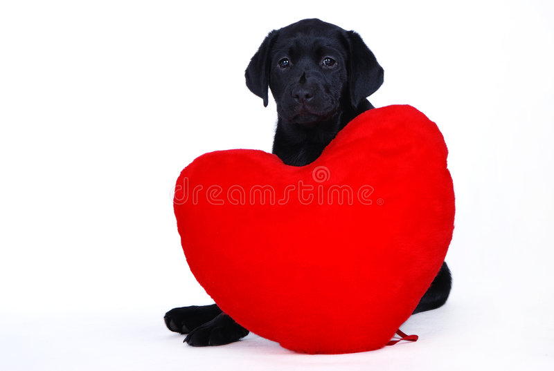 Labrador puppy with red heart stock image