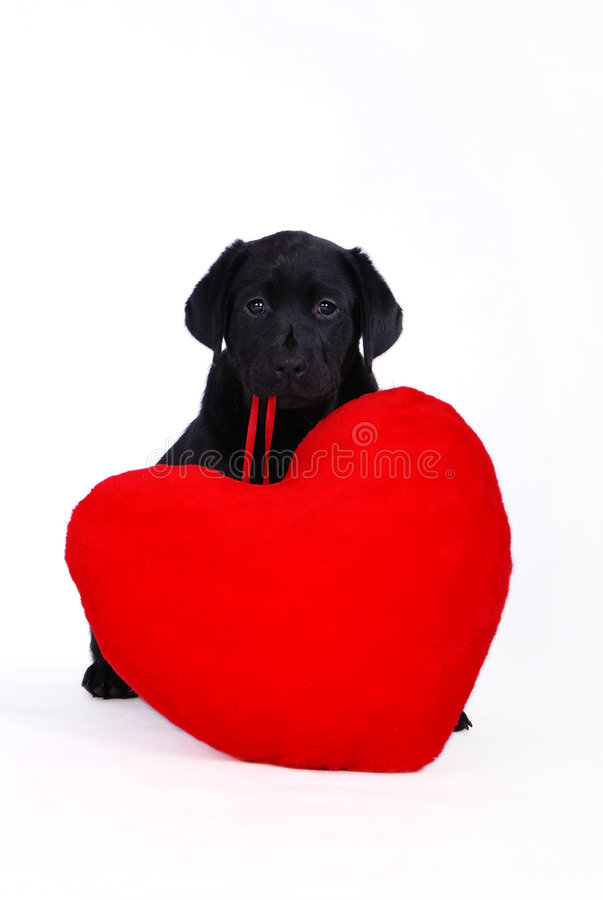 Download Labrador Puppy With Red Heart Stock Photo - Image: 1808784