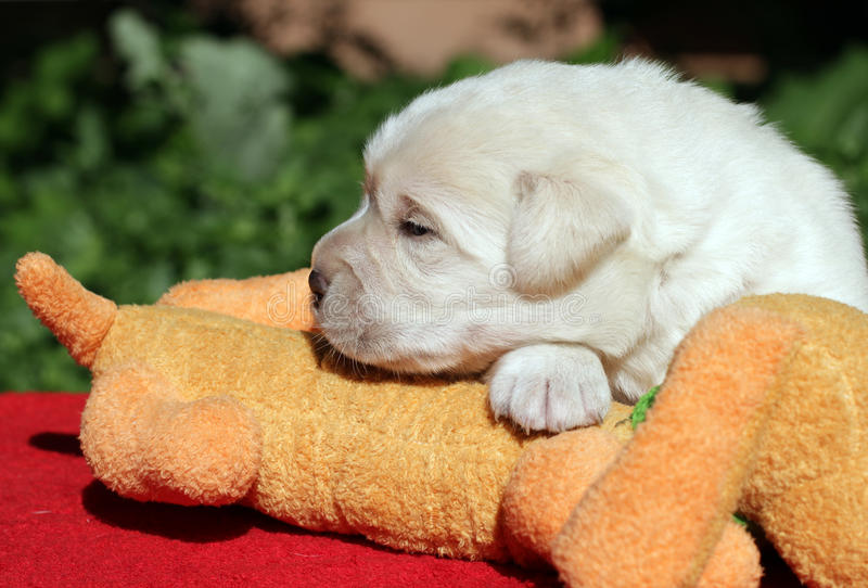 Download Labrador puppy with toy stock image. Image of shining - 25360915
