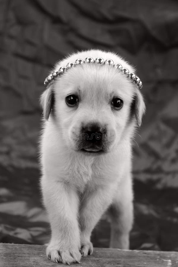 Labrador puppy wallpaper stock images