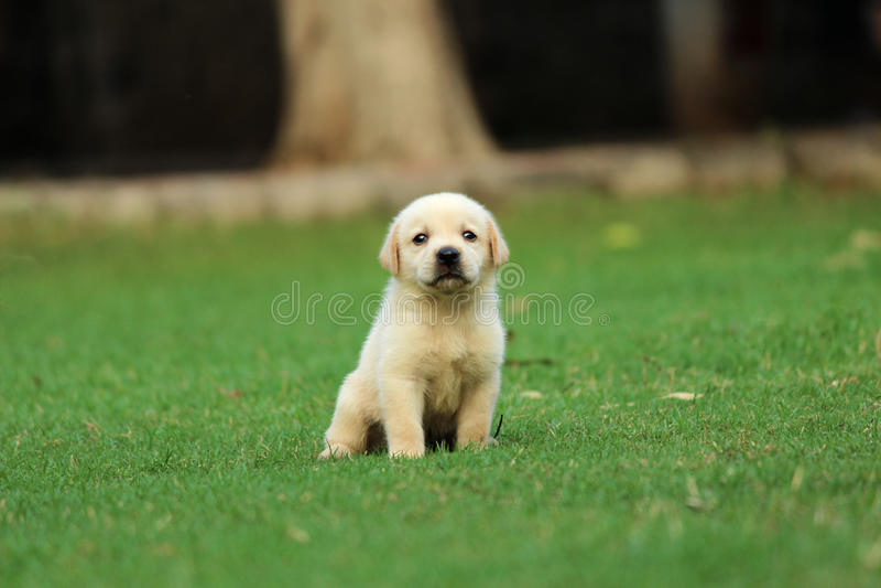 Labrador puppy wallpaper royalty free stock image