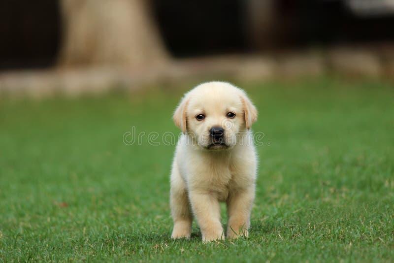 Labrador puppy wallpaper royalty free stock photography