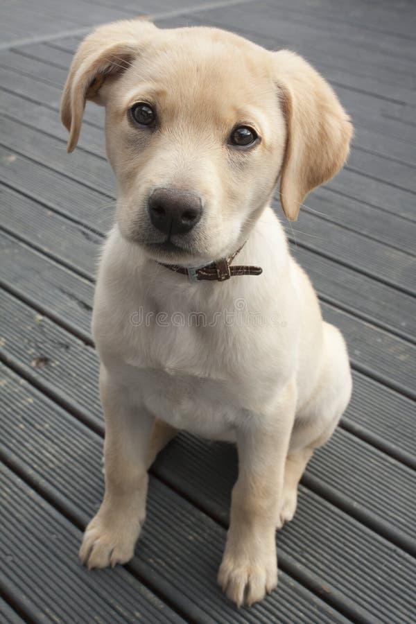 Download Labrador Puppy Stock Photos - Image: 31994733