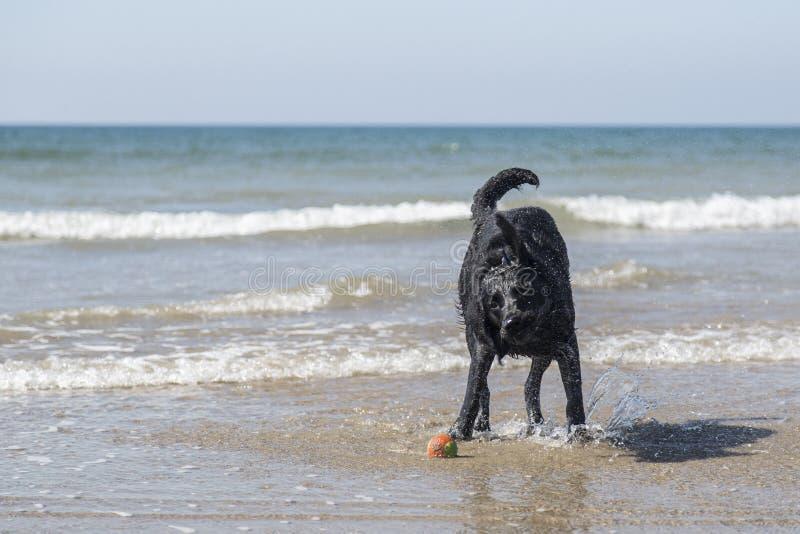 Labrador que agita na ressaca em uma praia foto de stock