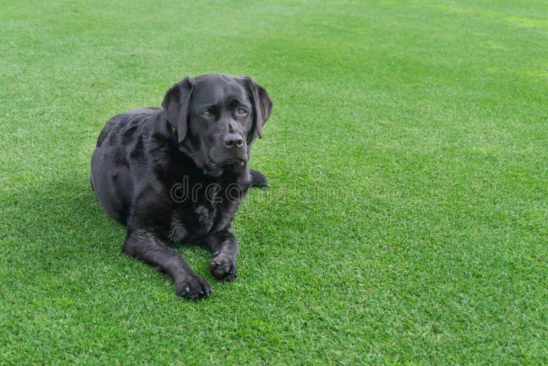 Labrador que encontra-se na grama com área de espaço da cópia imagem de stock