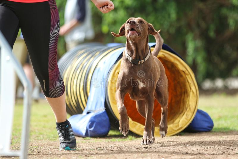 Labrador que faz a agilidade com seu proprietário imagens de stock royalty free