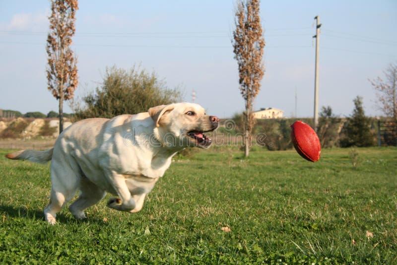 Labrador que funciona a esfera fotos de stock royalty free