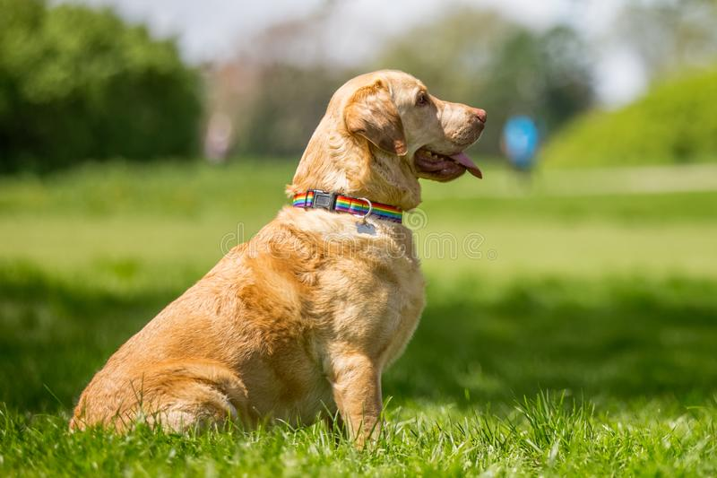 Labrador in a rainbow collar sitting in a park. Long face and ears dog, big ears pointed. dog walking, standing or sitting and playing in a park, field garden royalty free stock photos